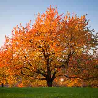 cherry tree in autumn with red-orange foliage and blue sky