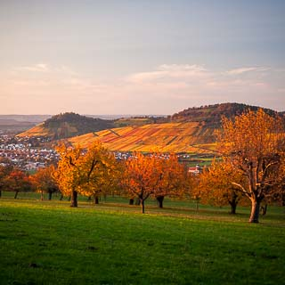 cherry tree orchard in autumn near Dettingen/Erms with Metzingen vineyards in the background