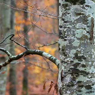 tree trunk of common beech (Fagus sylvatica) with lichen