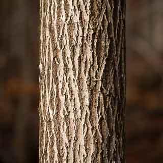 tree trunk of goat willow (Salix caprea)