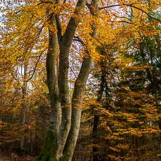 common beech (Fagus sylvatica) with 3 trunks in autumn