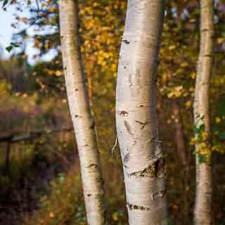3 white birch trunks in autumn