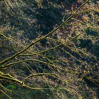 backlit field maple branches with moss cover