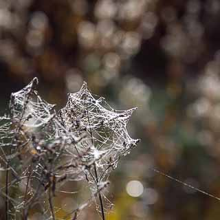 cowebs