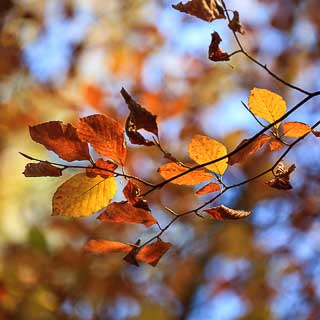 Fagus sylvatica (common beech) branch with autumn foliage and blurred background