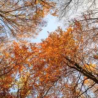 common beech autumn foliage against the sky