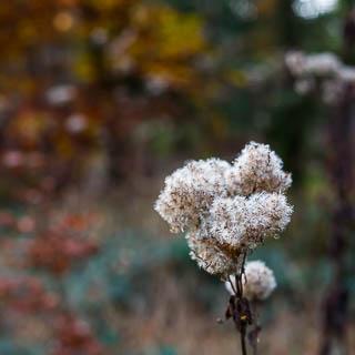 Eupatorium cannabinum seeds