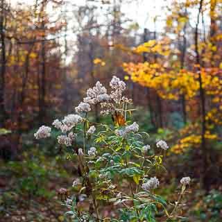 Eupatorium cannabinum seeds in autumn forest