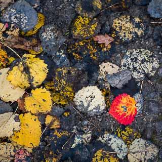 Populus tremula red leaf on ground in autumn