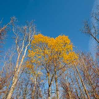 Salix caprea (goat willow) in autumn