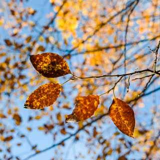 Salix caprea (goat willow) autumn leaves