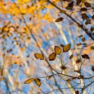 Salix caprea in autumn