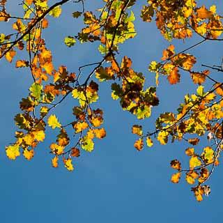 oak autumn foliage