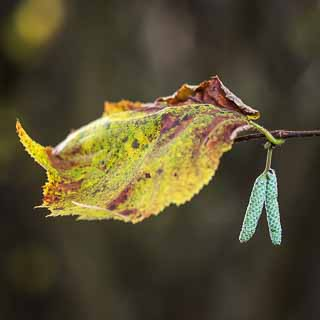 autumn foliage and hazelnut aments
