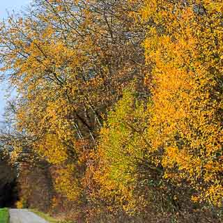 forest edge in autumn with yellow foliage from willows and aspen