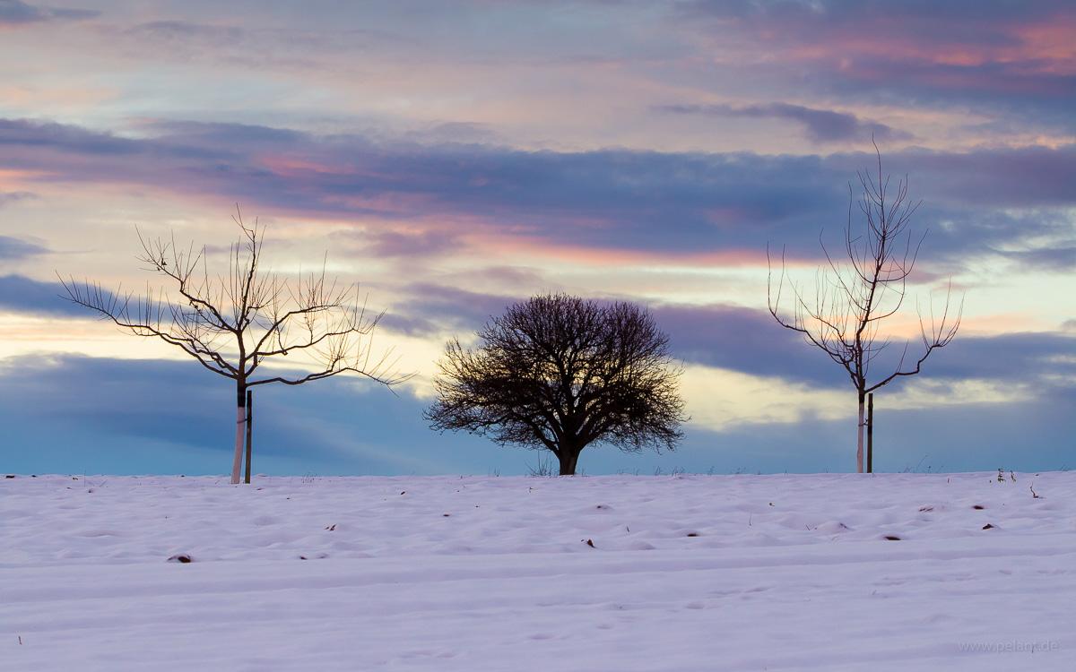 Zwei junge und ein alter Obstbaum auf den verschneiten Feldern
